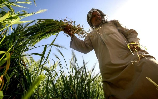 لأول مرة .. ألانبار تسوق أكثر من 36 ألف طن من الحنطة
